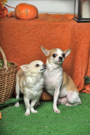 Two Chihuahua Dogs sitting together,
