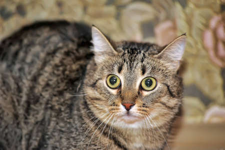 tabby cat with a scared tense look Banque d'images - 141260284
