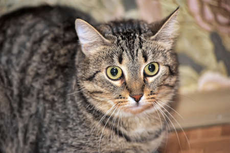 tabby cat with a scared tense look