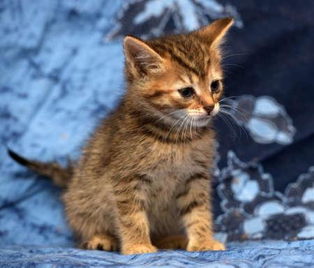 süßes braunes Kätzchen mit Streifen auf blauem Hintergrund