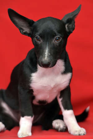 black and white eared puppy half-breed on a red background