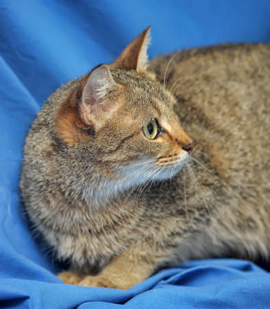 brown shorthair cat on a blue background
