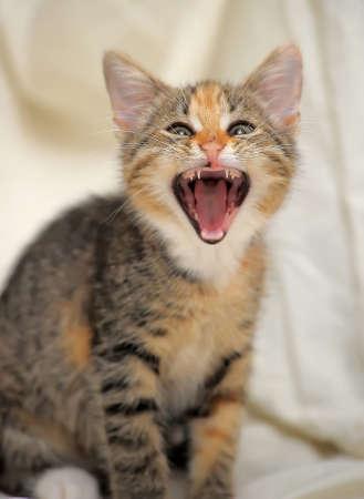 funny kitten yawns closeup photo