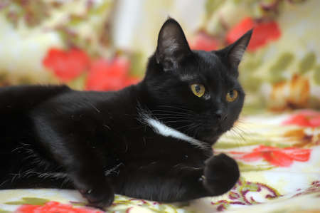 beautiful shorthair black cat with white breast