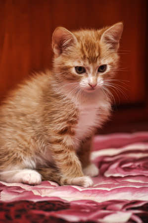 cute redhead with a white fluffy kitten