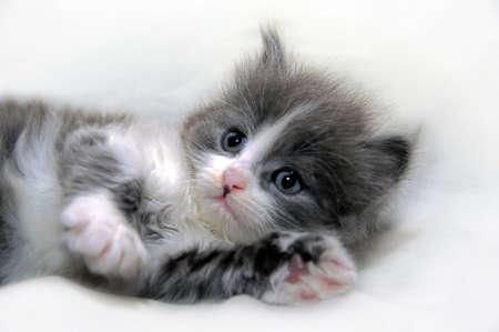 cute gray with white kitten lies