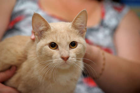 young cute light red shorthair cat