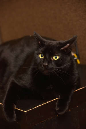 thick black european shorthair cat portrait Stockfoto