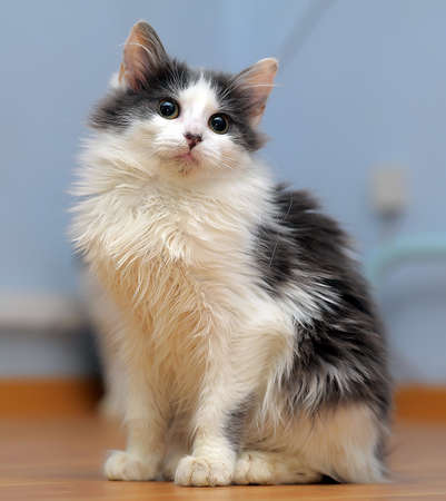 beautiful fluffy black with a white young cat