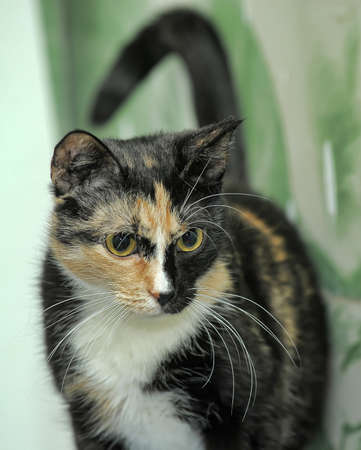 tricolor shorthair cat with yellow eyes