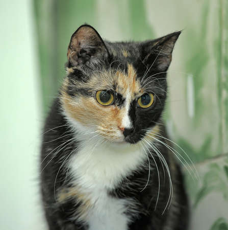 tricolor short hair cat with yellow eyes