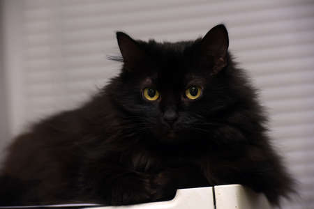 beautiful fluffy black cat with yellow eyes Foto de archivo