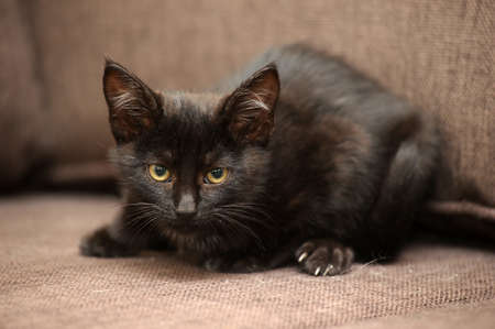 sad little black kitten on a brown background