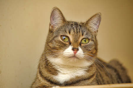 brown and white striped cat with yellow eyes 版權商用圖片
