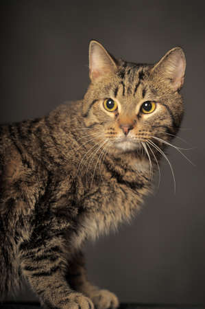 beautiful brown striped cat on a gray background 版權商用圖片 - 144272142