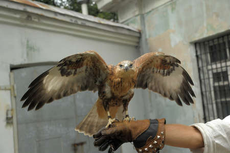 a falcon on a gauntlet gauntlet sits spreading its wings Standard-Bild