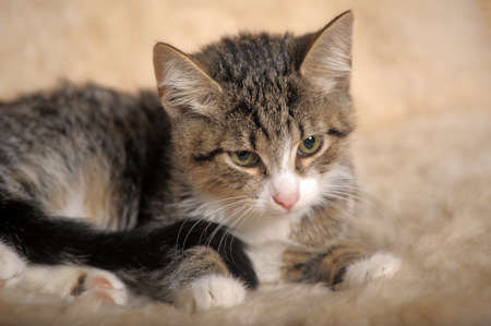 cute striped with white kitten is looking attentively Standard-Bild