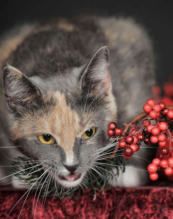 beautiful tricolor cat in studio and christmas berries Stock Photo