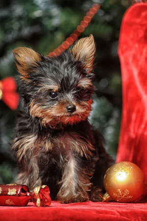 yorkshire terrier puppy on christmas background