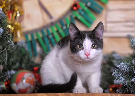 cute young black with white cat in christmas