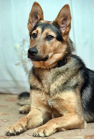 beautiful half-breed dog German shepherd close-up