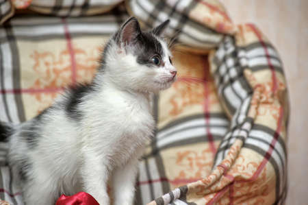 playful black and white little kitten