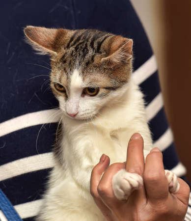 striped with white affectionate kitten in hands Imagens
