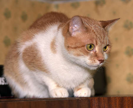 ginger and white cat with bewildered eyes