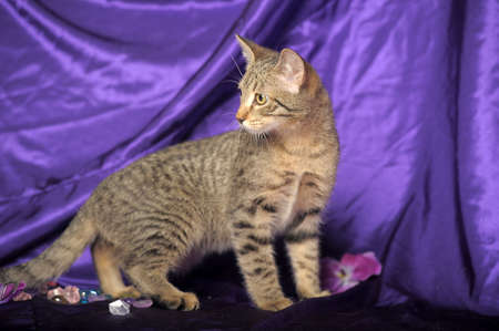 serious striped short-haired cat on a purple background