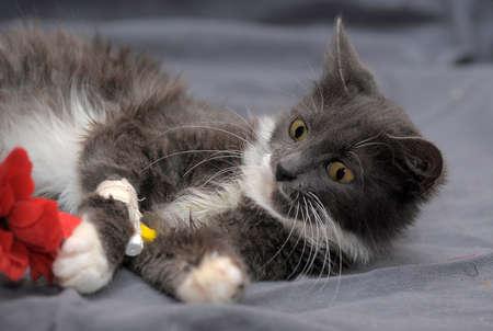 beautiful gray with a white cat with a catheter on its paw Zdjęcie Seryjne