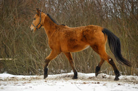 running brown horse in corral in winter