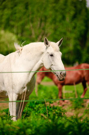 beautiful white horse grazes in the corral in summer