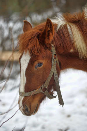 Domestic bay horse walking in the snow paddock in winter. Stockfoto