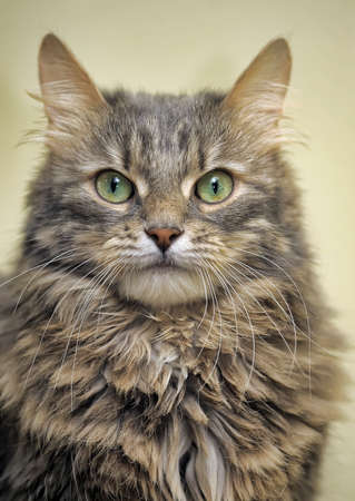 beautiful fluffy gray norwegian forest cat
