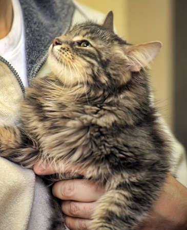 beautiful fluffy gray Norwegian forest cat in  arms