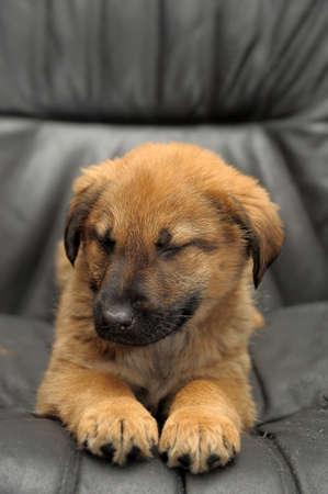red mongrel puppy on a dark background