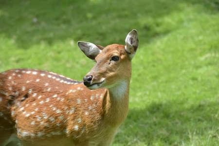 Close up of a Fallow Deer buck (Dama dama)
