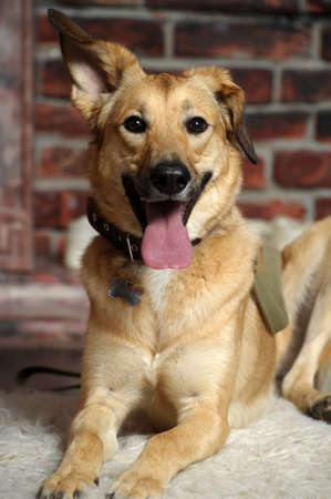 cute happy brown dog mongrel sticking out his tongue