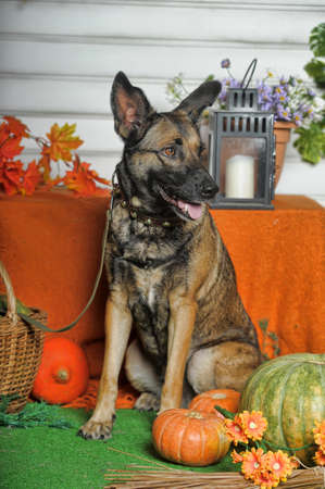 cute happy brown dog mongrel on an autumn background with pumpkins Zdjęcie Seryjne