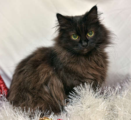 black fluffy chantilly tiffany cat with yellow eyes Imagens