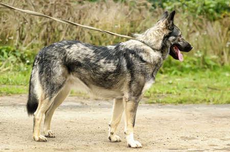 cute gray dog mongrel on a leash