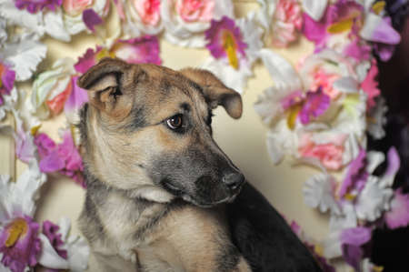 sad puppy mongrel mestizo shepherd on the background of a wall of flowers