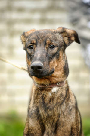 brown dog, on a leash on the grass,, mestizo, animals from the shelter