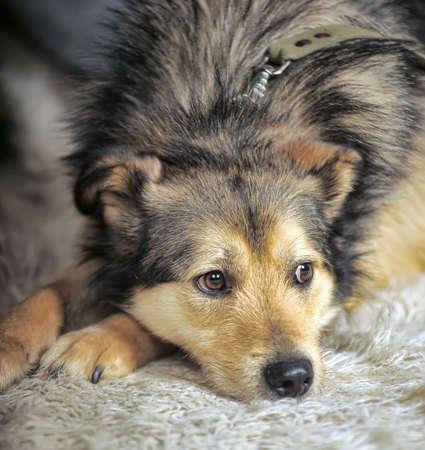 crossbreed husky and shepherd dog close up