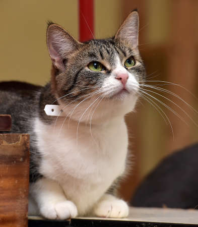 white and brown striped short-haired European cat