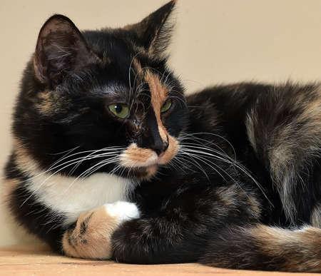 tricolor shorthair european cat lies