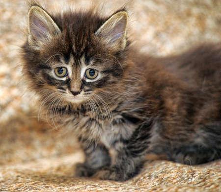 cute little fluffy brown kitten