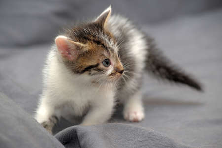 cute little white with brown kitten on gray background
