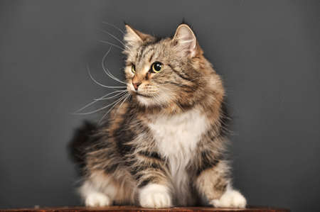 brown with white fluffy cat in the studio on a gray background