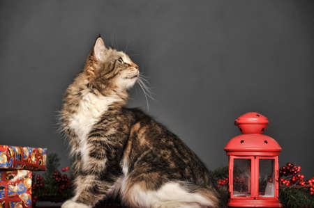 brown with white fluffy cat in the studio on a gray background with a red flashlight for candles and Christmas branches Banque d'images